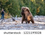 Two young sub-adult Alaskan brown bears on the Naknek Lake beach play fighting, Katmai National Park, Alaska, USA