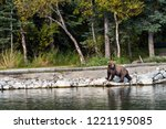 young sub adult alaskan brown... | Shutterstock . vector #1221195085