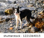 Collie Dog Chasing Waves