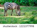 Zebra Eating Grass Grassland - Fine Art prints