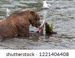 grizzly bear in alaska katmai... | Shutterstock . vector #1221406408