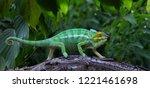 Green Chameleon In Jungle...