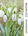 spring snowdrops flower. early... | Shutterstock . vector #1221462568