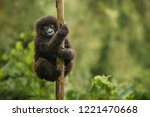 Wild mountain gorilla in the...