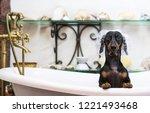 A Cute Little Dog Dachshund ...