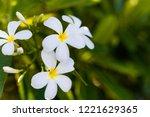 frangipani  plumeria  on the...   Shutterstock . vector #1221629365