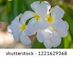 frangipani  plumeria  on the...   Shutterstock . vector #1221629368