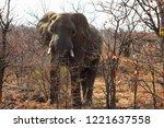 solitary african elephant...   Shutterstock . vector #1221637558