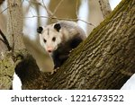 Virginia Opossum     North...