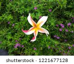 one type of frangipani  this is ...   Shutterstock . vector #1221677128