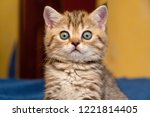 Stock photo funny british kitten looks in surprise at the camera a portrait of a british kitten close up 1221814405