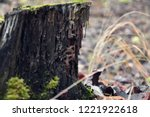Small photo of old crummy stump covered with moss