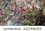 gomphrena sonorae or sonoran... | Shutterstock . vector #1221946525