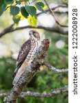juvenile sharp shinned hawk... | Shutterstock . vector #1222008928