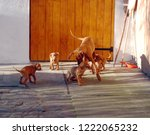 dog of hungarian vyzhla playing ... | Shutterstock . vector #1222065232