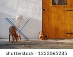dog of hungarian vyzhla playing ... | Shutterstock . vector #1222065235