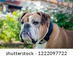 serious looking old bulldog... | Shutterstock . vector #1222097722