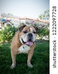 smiling bulldog standing on a... | Shutterstock . vector #1222097728
