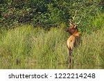 Male Or Bull Roosevelt Elk ...