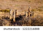 A Family Of Meerkats...