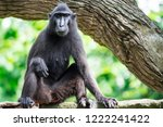 celebes crested macaque also... | Shutterstock . vector #1222241422