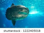 The ocean sunfish or common mola (Mola mola) – the heaviest known bony fish in the world