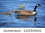 canada goose  branta canadensis ... | Shutterstock . vector #1222543432