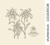 edelweiss  edelweiss flowers... | Shutterstock .eps vector #1222630138