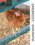 Small photo of Red hen pullet perch