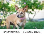 a small chihuahua dog gives a... | Shutterstock . vector #1222821028