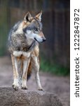 wolf. portrait image of the... | Shutterstock . vector #1222847872