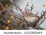 house finch eating berries | Shutterstock . vector #1222982665