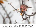 house finch eating berries | Shutterstock . vector #1222982668