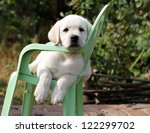 Yellow Labrador Puppy In The...