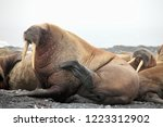 walrus haul out on arctic beach ... | Shutterstock . vector #1223312902