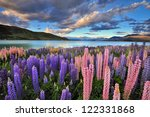 Lupins On The Shore Of Lake...