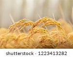rice is in the field. | Shutterstock . vector #1223413282