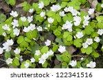 Wood Sorrel  Oxalis  Flowers I...