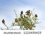 group of superb starling bird... | Shutterstock . vector #1223450425