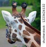 the giraffe  giraffa... | Shutterstock . vector #1223626132