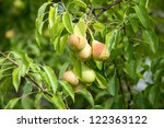 pear fruit hanging on a tree... | Shutterstock . vector #122363122