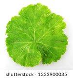 geranium pelargonium leaf   Shutterstock . vector #1223900035