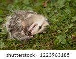 virginia opossum  didelphis... | Shutterstock . vector #1223963185