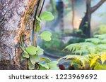 leaves of hoya kerrii craib or... | Shutterstock . vector #1223969692