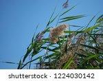 reeds on the river bank. marsh...   Shutterstock . vector #1224030142