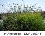 reeds on the river bank. marsh...   Shutterstock . vector #1224030145
