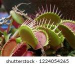 venus fly trap | Shutterstock . vector #1224054265
