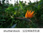the bird of paradise tree is... | Shutterstock . vector #1224065518