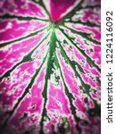 caladium bicolor with pink leaf ... | Shutterstock . vector #1224116092