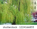 the weeping willow tree in the...   Shutterstock . vector #1224166855